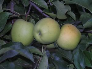 mela-al-giorno